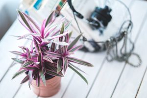 A cute pink houseplant in a small pot.