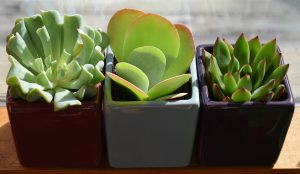 Small succulents. Moving houseplants is easy if they're this size!