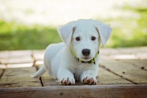 ideas for housewarming gifts - A white puppy
